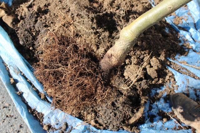 Remember how large those pots were? Well, this is all that was in it, in terms of roots. And notice how high up the soil line is on the trunk. And, how there are NO major root development - its all just a tangle of small roots, some of which are growing upward.