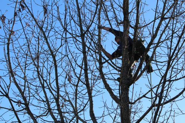 He seemed as comfortable up there as our primate cousins. I mused that this might be the perfect job for my one kid who loves to climb trees.