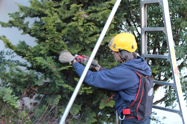 Here is a quick lesson in ornamental pruning as well - a Hinoki Cypress getting a trim.