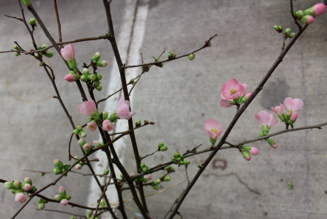 ... and branches of Flowering Quince.