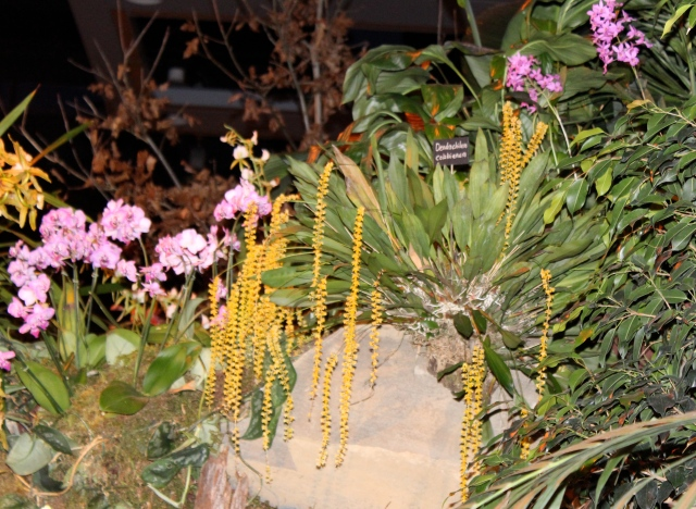 There was an orchid display garden too, featuring lots of marvelous stuff, but most shots from there were pretty sad looking as you can see. Still, I'm posting this one. I thought those long, yellow tassels were fantastic!