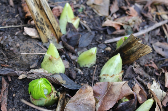 The emerging leaves of Podophyllum pleianthum always excite me - even if they are much too early.