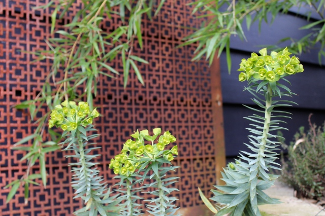 Euphorbia rigida is still blooming.