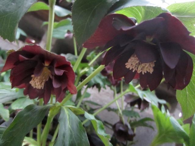 Black onyx hellebore has that warm, luxurious dark red.