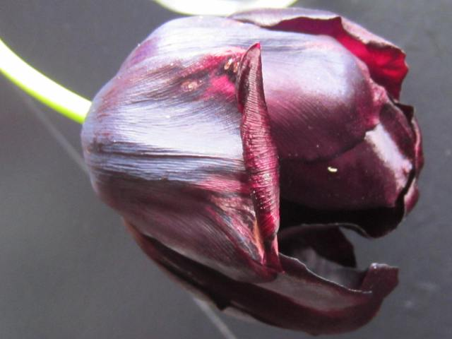 Queen of the Night tulip - her after having lived out its glory days in a vase.