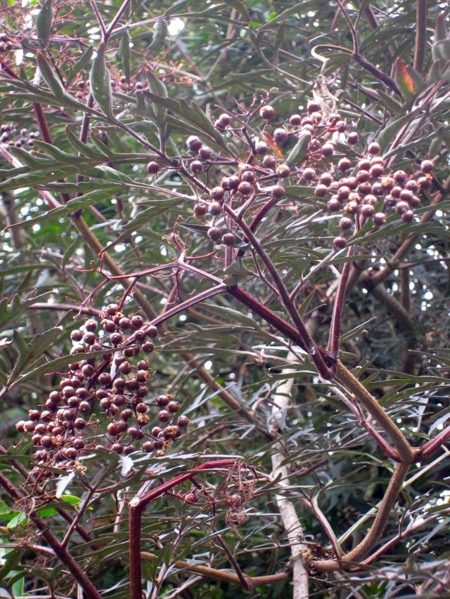 ... and the berries of Sambucus nigra 'Black Lace'.