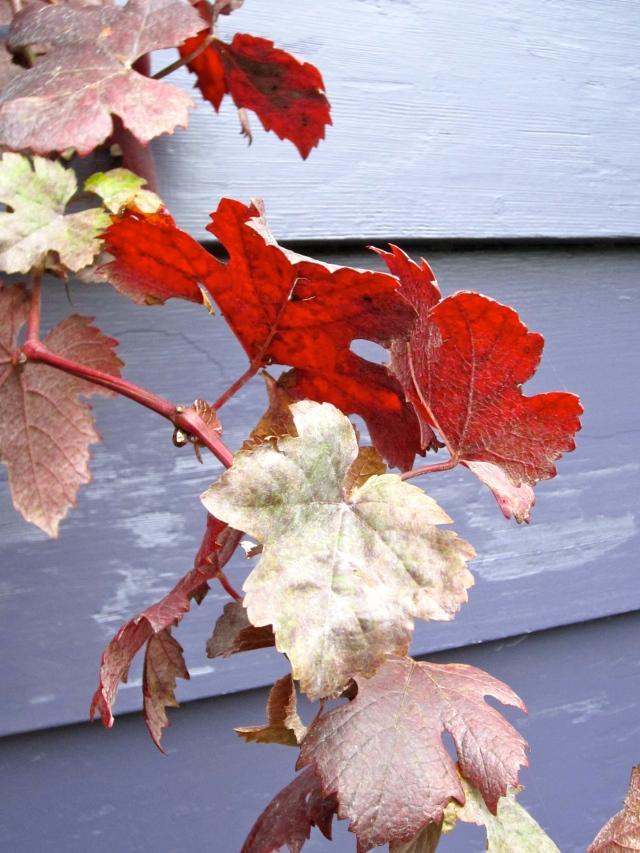 ... and backlit Vitis purpurea.