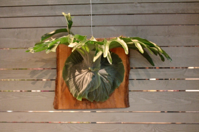There were many ways of displaying plants at the YGP. Here is a perennial favorite of mine - a wall mounted stag horn fern. Sigh...