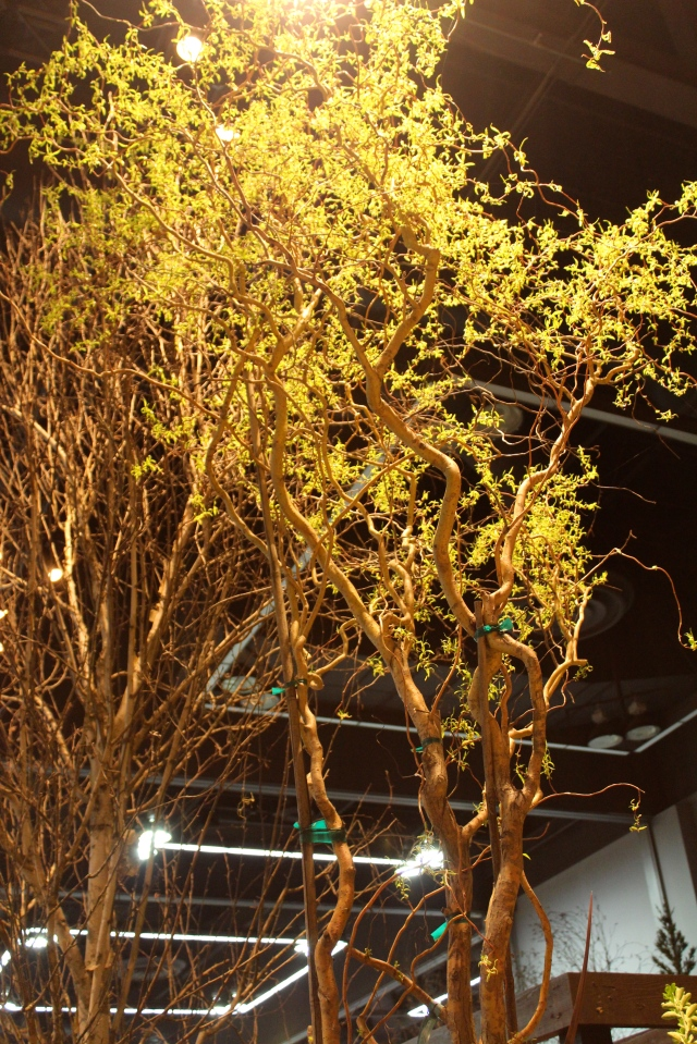 Both at NWFGS and here at the YGP, contorted branches were in vogue.
