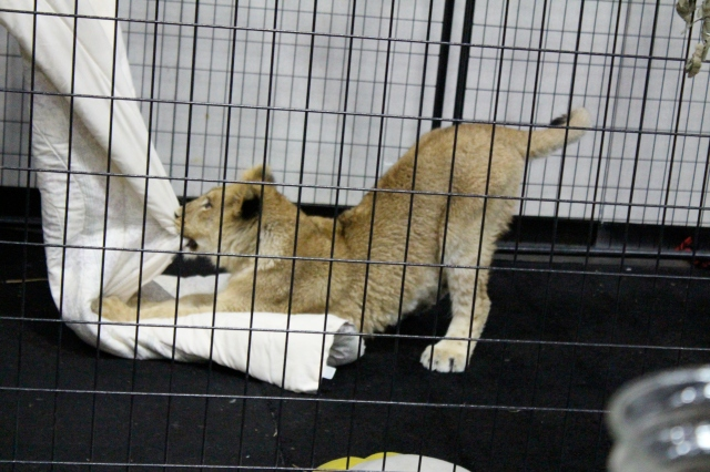 This lion cub looks happy enough, I guess...