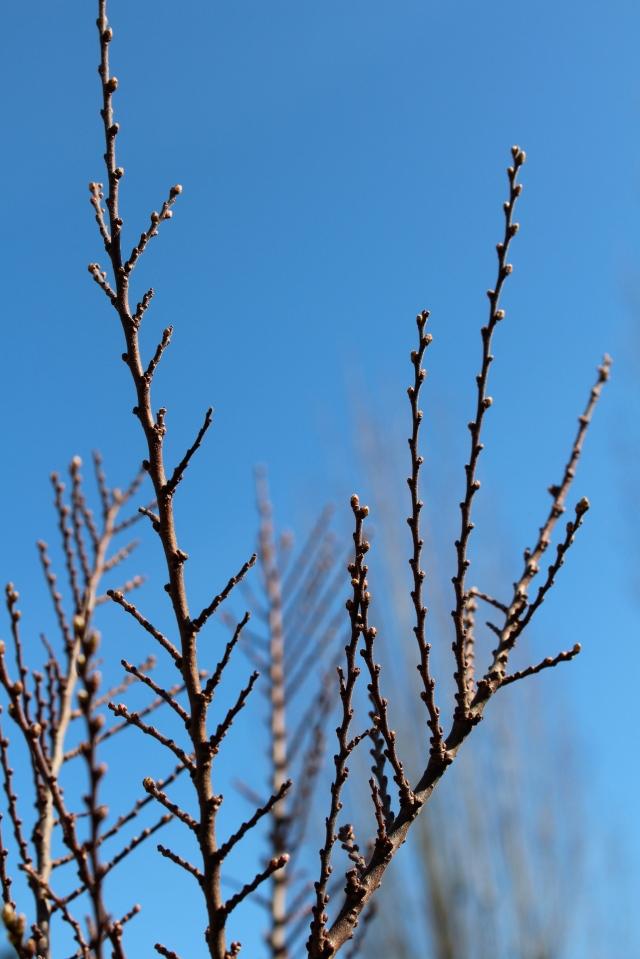 Ulmus parvifolia 'Seiju' - branching structure