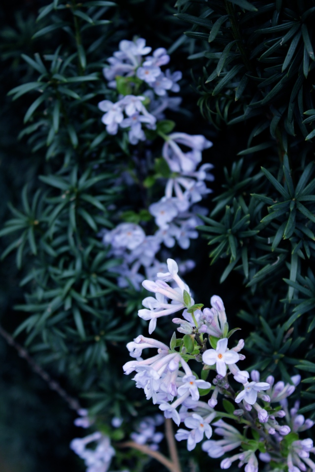 Daphne Genkwa - looking lavender against the yew.