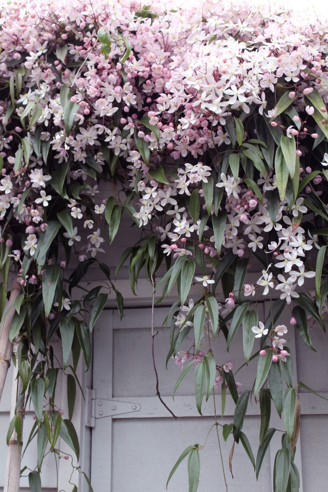 I don't think my Clematis armandii 'Apple Blossom' has ever looked better. This is most definitely the most spectacular show in the garden right now.