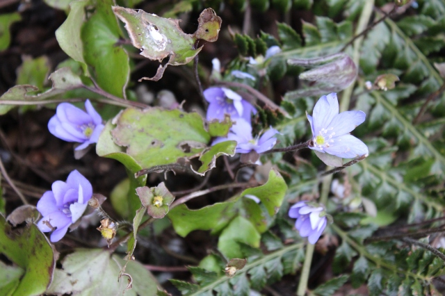Hepatica nobiles looking a little worn. Damn slugs...