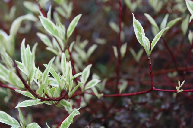 The red-twig dogwood Cornus alba 'Elegantissima' which is leafing out is another one.