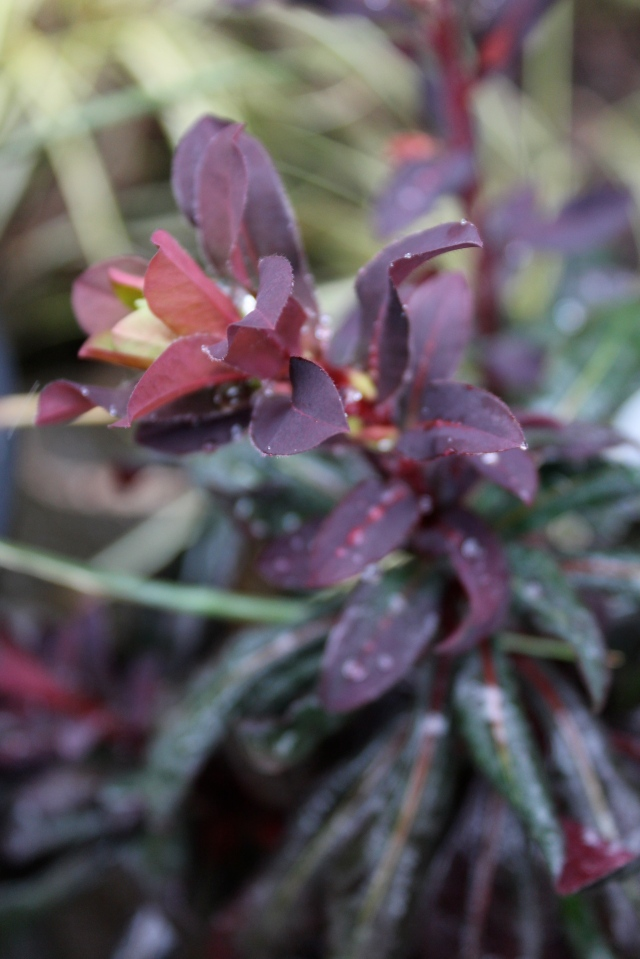 Euphorbia sports a beautiful range of reds, Marsala included.