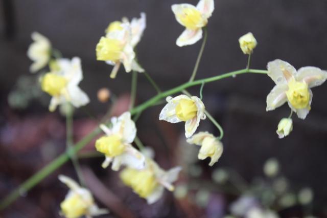Epimedium sulphureum.