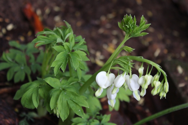 White bleeding hearts - they surprise me every year! All of a sudden, they are just there...
