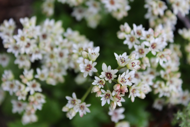 The adorable flowers of Mukdenia rossii have maroonish centers.