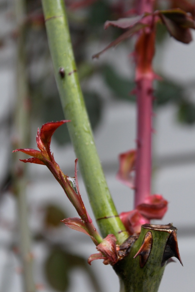 In fact, it seems many roses have dark red new foliage.