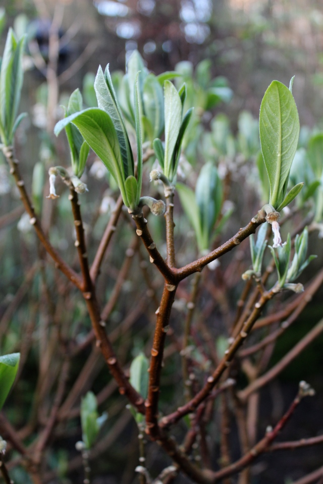 The Edgeworthia - the star of February's posts - is pushing out fresh blue-green leaves.