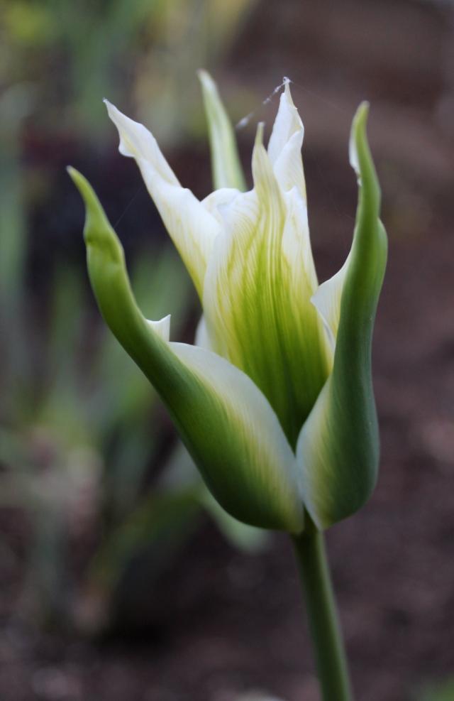 A viridiflora tulip.