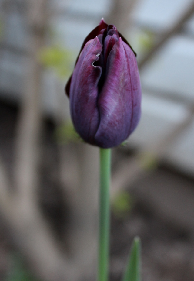 A lone purple tulip - a nice surprise!