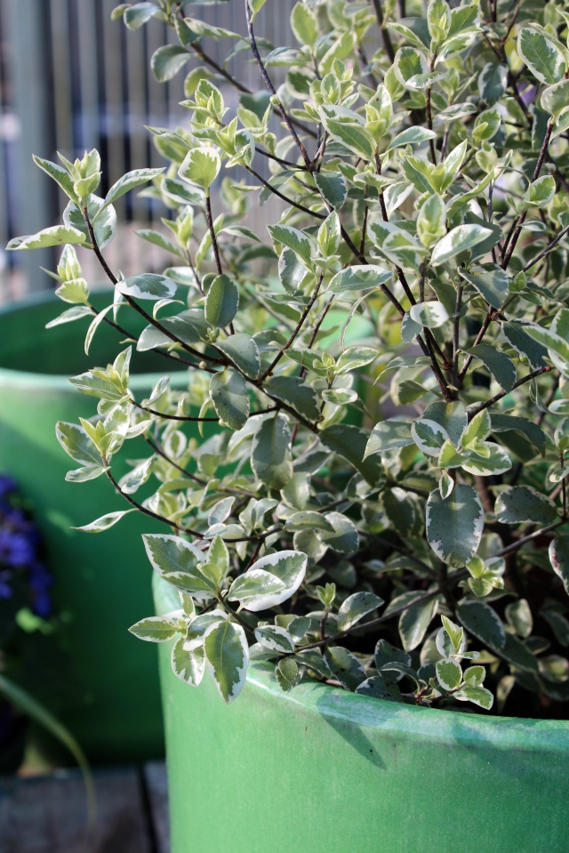Pittosporum 'Marjorie Channon' looking fab in a blue green pot. Too bad it gets so big - I have been drooling over this one for a while.