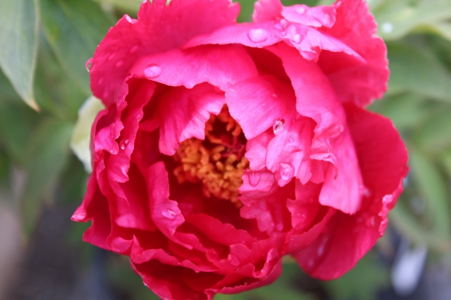 In my next garden, I will also plant a Tree-peony. Can't get enough of their silky poppy-like petals...