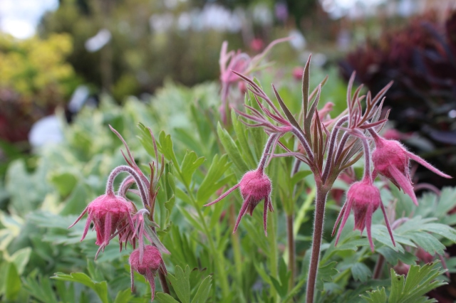 I absolutely adore these! Geum 'Prairie Smoke'. My resistance just might break down over this one...