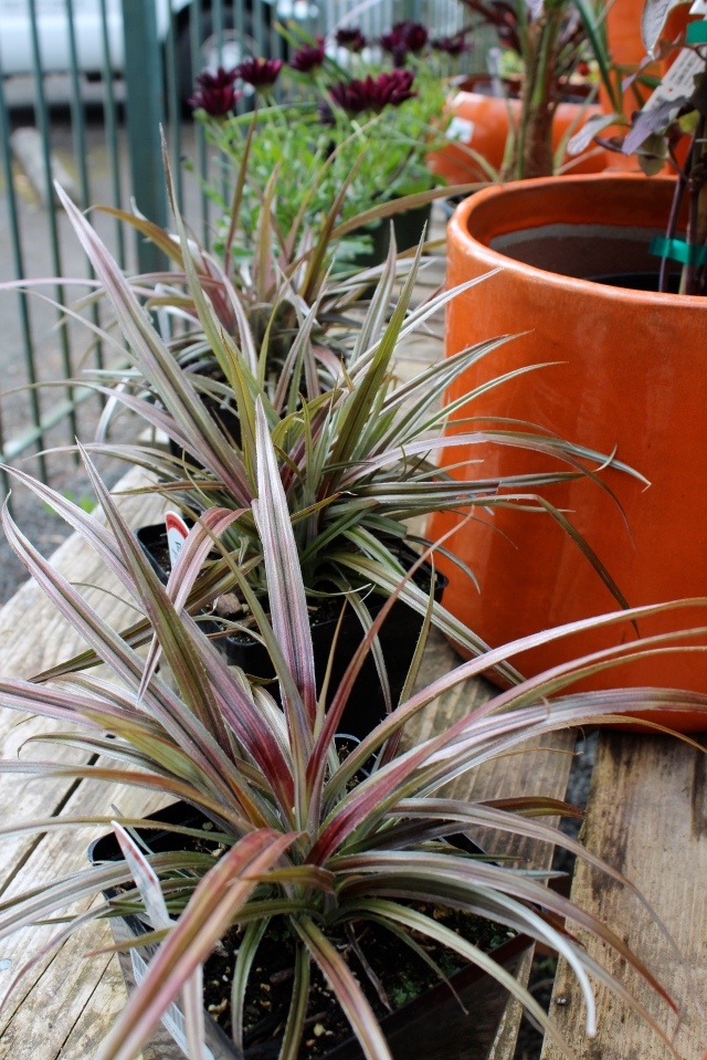 Orange pots go so well with dark foliage. This Astelia has a burgundy metallic sheen instead of the usual silver. Kind of like the Grape Jelly Dyckia.