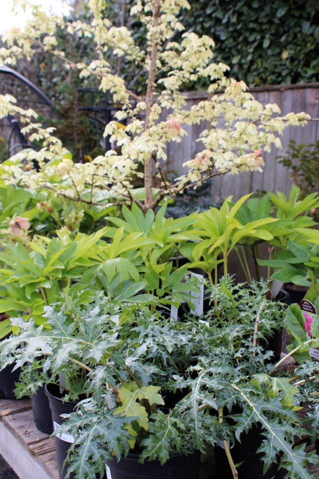 I do love that Acer campestre 'Carneval', but even a small tree like that is not likely to fit comfortably into my cramped quarters. But in my next garden...