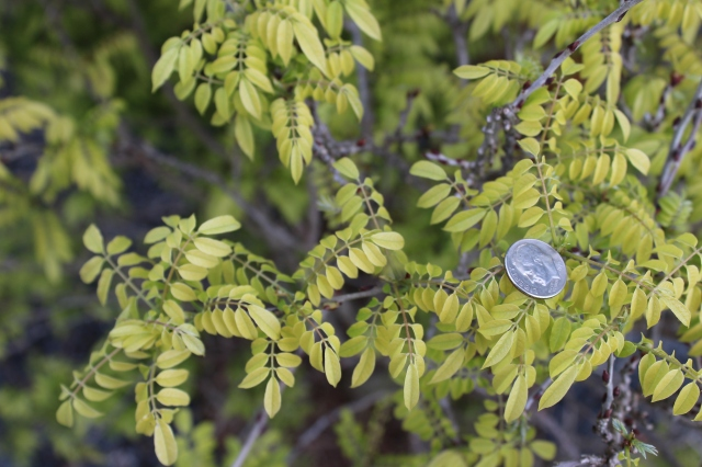 Check out the leaves of this miniature Wisteria (Millettia japonica 'Hime fuji') - I put the dime there for scale. I just yanked a big one out of my garden. This has a decidedly better scale, but I'm not sure it flowers all that often. Cool foliage, though...