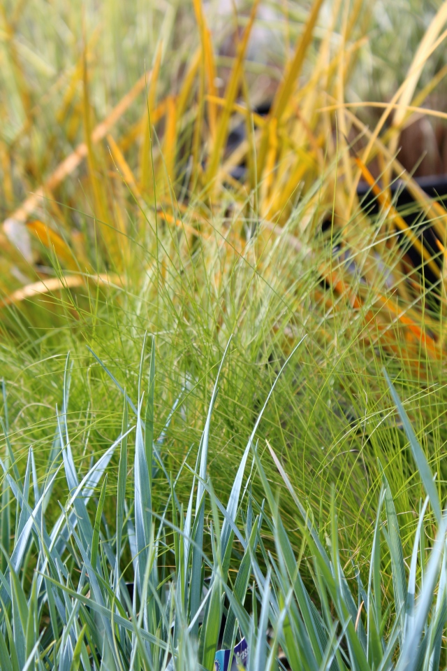 The blue of Magellan wheat grass, contrasted against Mexican Feather grass and 'Goldfinger' Libertia. It is becoming one of my favorite grasses - that blue is just stunning!