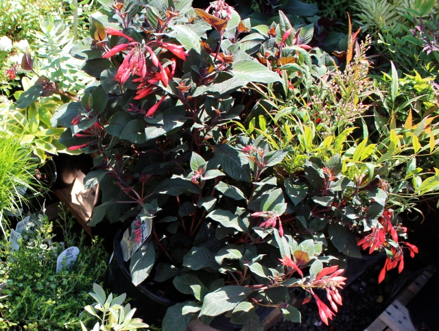 Fuchsia 'Gartenmeister' is a personal favorite of the client, and luckily we had some. The Moyer's Red Nandina will look good against the white brick wall.