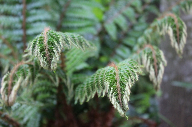 This time of year, despite all the blooming wonders, ferns and other unfurling foliage wonders are by far my favorites.
