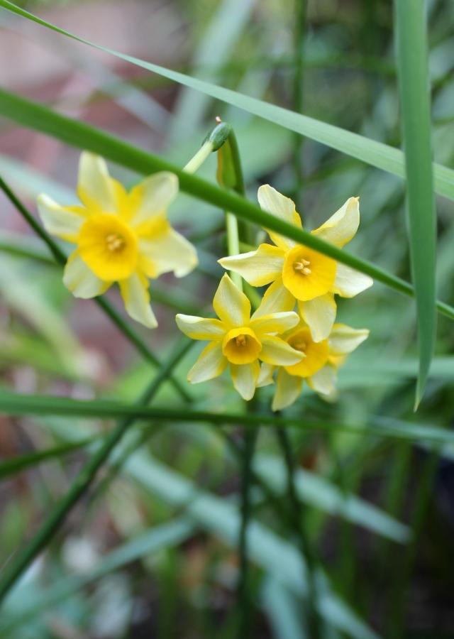 ... but the miniature narcissi that I planted with it are complaining about the light levels. They are kindly blooming, but are leaning terribly out toward the light. Supercute, though - the flowers are about an inch across.