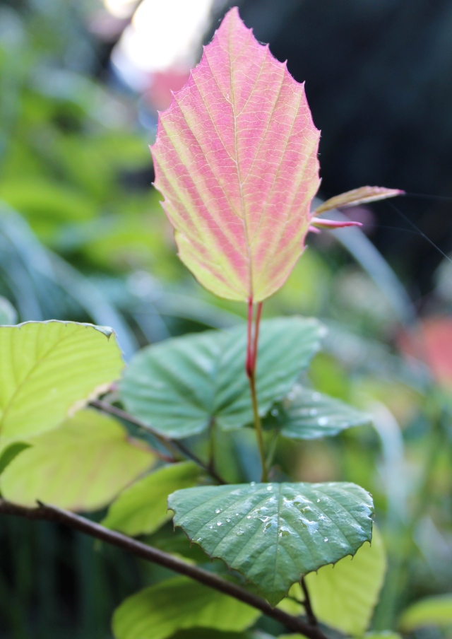 Don't think I ever noticed how red the new growth is on the Buttercup winter hazel (Corylopsis pauciflora). I moved it out of its old home this past fall, and put it in a pot where I think I can remember to water it a little more generously.  It seems to like its new location...