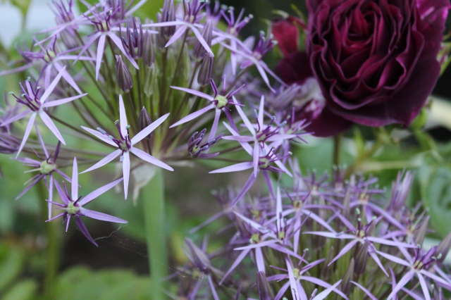 For a while I have been struggling with something that will make Allium christophii's color less wimpy, but last week I found it - Rosa floribunda 'Twilight Zone'. I'm quite excited about this combo, and looking forward to adorning it further with other embellishments.
