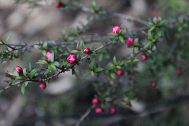 This adorable little shrub is probably the cutest thing in my garden right now. It is a Leptospermum, and was purchased from Xera last year. Other than lovely buds and blooms, I love its fragrant foliage.