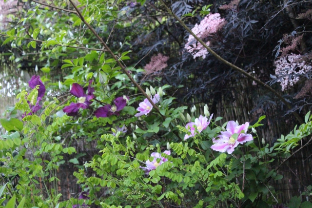 Here are two rambling members of the Clematis sisterhood, climbing up a Crape Myrtle, and a fence. A blooming Black Lace elderberry in the background.