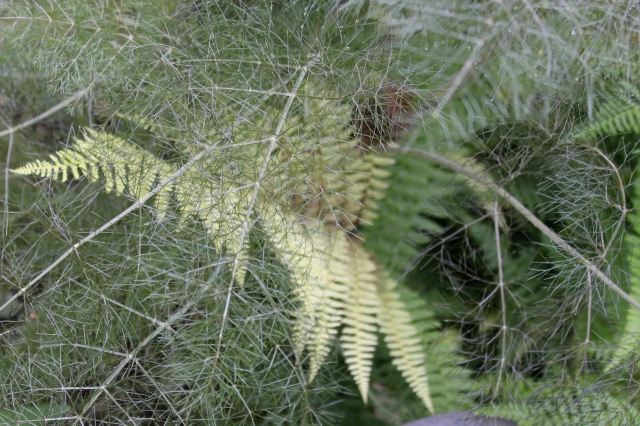 A fern making its way up through the Bronze fennel foliage. I like the mix of textures!