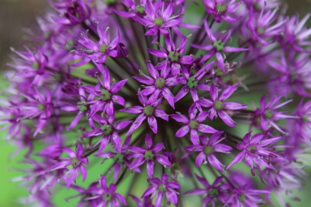 I will end with my favorite Allium - 'Purple sensation'. Besides the color, my favorite part of it is how generously it seems to multiply.