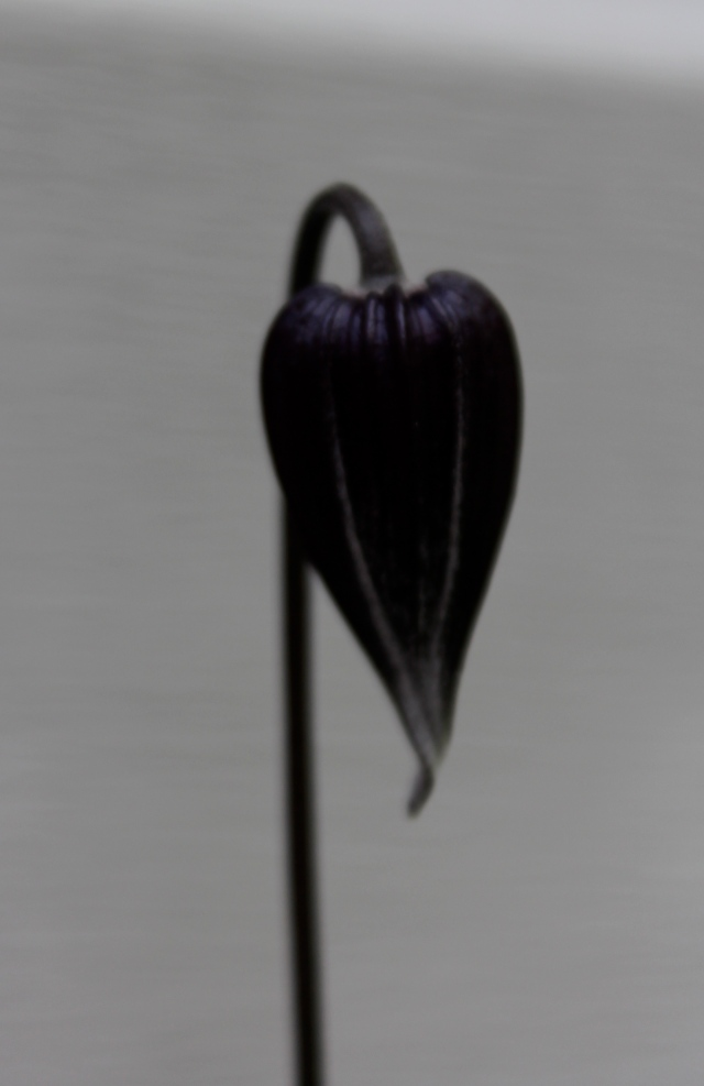 The exquisite drop shape of the Clematis 'Rocguchii' bud. One of my faves, for sure.