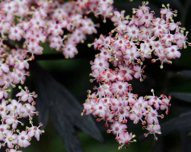 A close-up of the Black Lace Elderberry flower. Kinda cute...