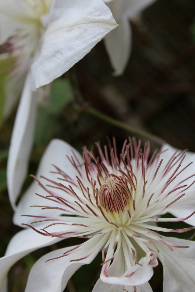 Love the fluffy centers of Clematis 'Henryii'.