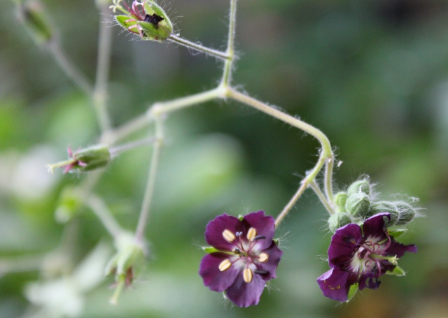 A very dark purple Geranium. Could have sworn it was called 'Widow... something' but have misplaced the tag. Pretty cool, though.