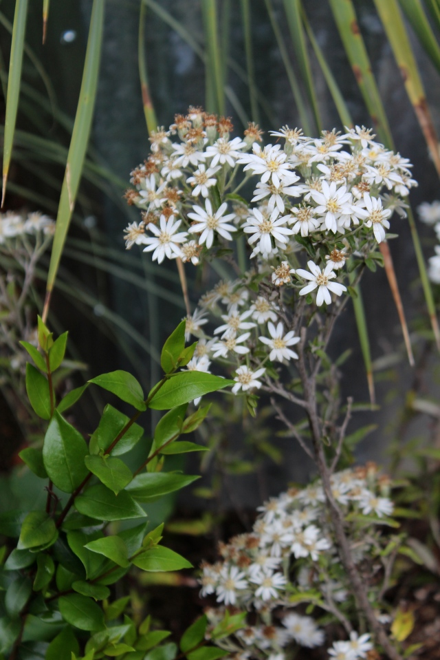 Same here - I rescued this Olearia (Daisy bush). We'll see how it fares in my sun deprived environment.