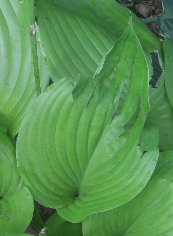 See how they are shredded along the veins? We were mystified... (Photo from Missouri Botanical Garden.)