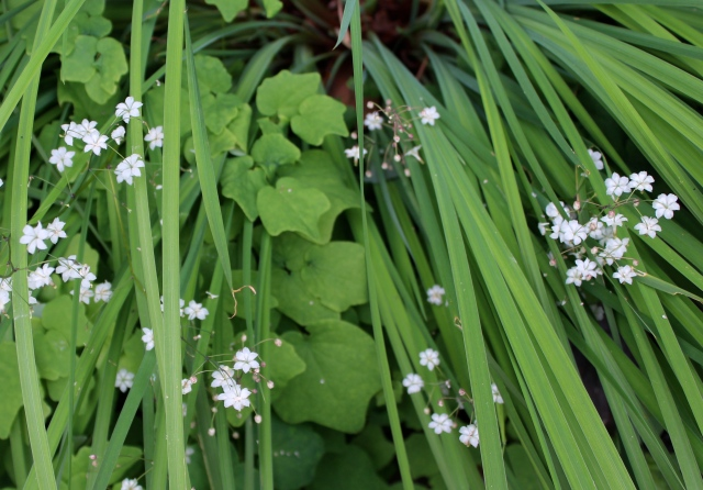 Vancouveria hexandra flowers